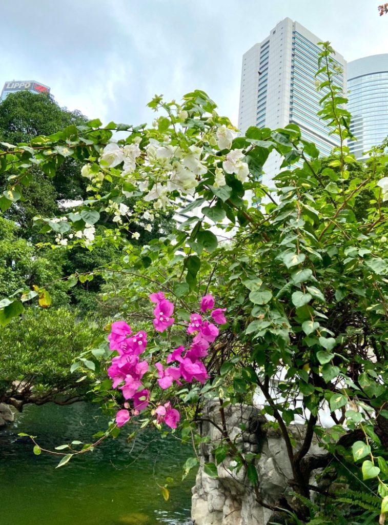香港公園ブーゲンビリア